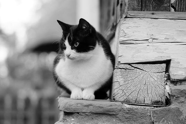 חתולת רחוב שחורה לבנה
